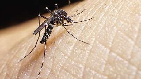 Mosquito Aedes aegypti é transmissor da febre amerala e dos vírus zika, dengue e Chikungunya