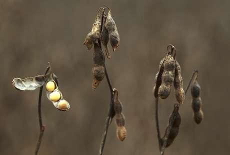 Visão do cultivo de soja em uma fazenda na cidade de Primavera do Lestem no Mato Groosso, 7/02/ 2013. REUTERS/Paulo Whitaker