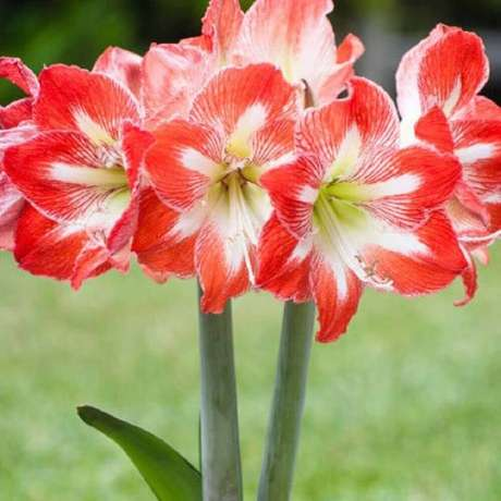 2. Fotos de plantas Amarílis vermelha