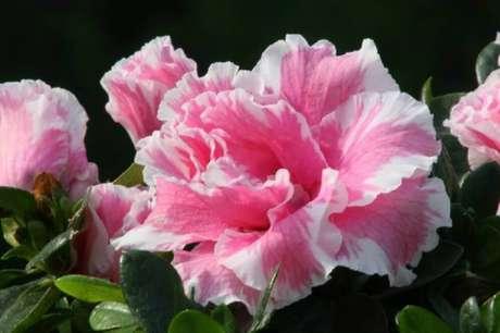 4. A azaléia são tipos de flores que se adaptam bem ao inverno