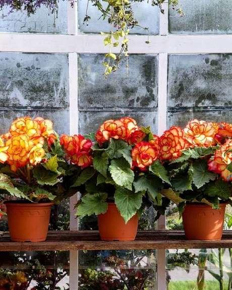 8. As begônias são tipos de flores coloridas lindas para auxiliar na decoração