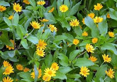 7. Fotos de plantas botão-de-ouro