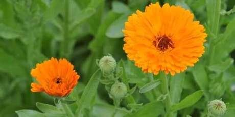 9. As calêndulas são tipos de flores coloridas que também possuem propriedades medicinais