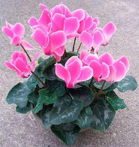 15. O ciclame são tipos de flores coloridas que se muito utilizadas em jardim de inverno