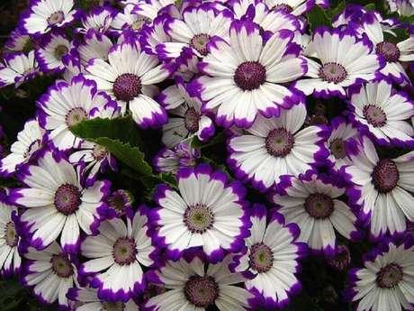 13. O outro nome de flores que a cinerária é conhecida é cinerária-dos-floristas