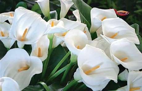 11. O copo-de-leite são tipos de flores que simbolizam paz