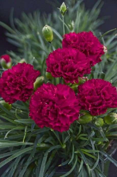 17. Os cravos são tipos de flores que já foram consideradas símbolos de fidelidade