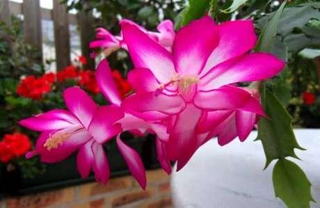 16. A flor-de-maio também é conhecida com nome de flores flor-de-seda