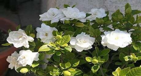 21. A gardênia são tipos de flores muito perfumadas