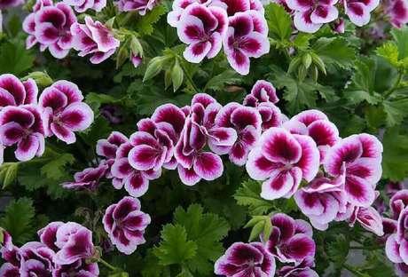 19. O gerânio proporciona muita beleza na decoração e em fotos de plantas