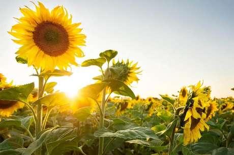 23. O girassol são tipos de flores coloridas que sempre rendem lindas fotos de plantas