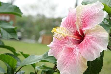 24. O hibisco pode ser encontrado em diversos tamanhos, cores e formatos, porém, são tipos de flores solitárias