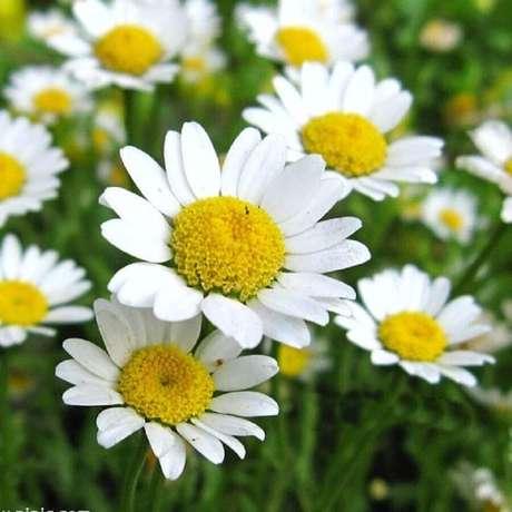 33. A margarida são tipos de flores muito conhecidas