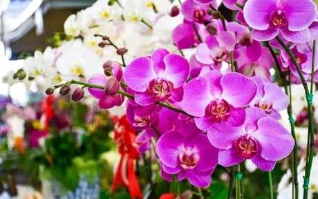 46. O tipo de orquídea mais conhecida é a Phalaenopsis.