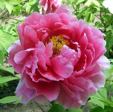 35. A peônia são tipos de flores que possui várias espécies