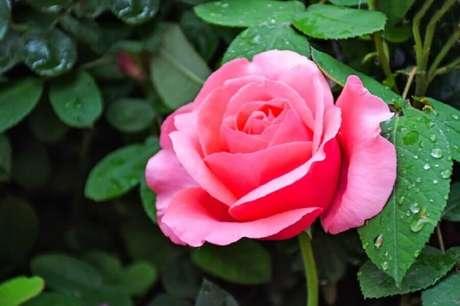 39. A rosa provavelmente é um dos tipos de flores mais conhecida no mundo