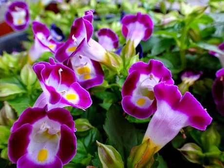 41. A torênia são tipos de flores coloridas muito utilizadas no paisagismo