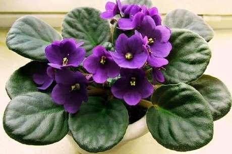 43. A violeta são tipos de flores coloridas muito conhecidas no Brasil