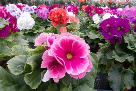 36. A prímula são tipos de flores coloridas que exalam um suave perfume