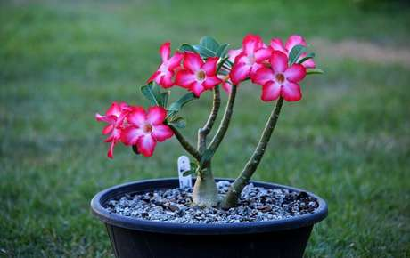 40. A rosa-do-deserto são tipos de flores coloridas suculentas