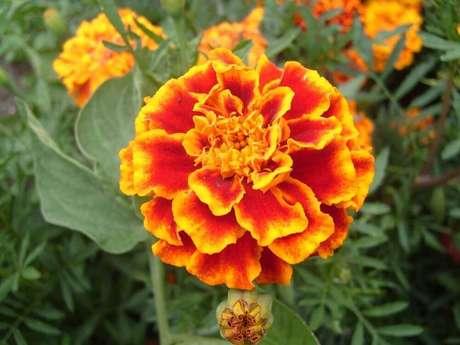 44. A tagetes também é conhecida pelo nome de flores de Flor-dos-mortos
