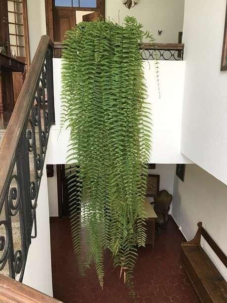 6- A samambaia de metro é uma planta que deve ser colocada no alto, pois suas folhas atingem mais de 1 metro. Fonte: Nô Figueiredo.