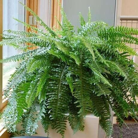 38- A samambaia necessita de regas constantes e de luz indireta. Fonte: My Garden Insider