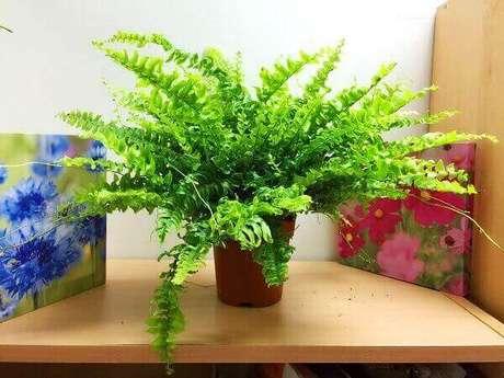 49- A Samambaia Nephrolepis pode ser plantada em vaso pequeno. Fonte: Pinterest