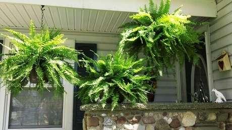 5- Samambaia americana é uma das plantas ornamentais mais comuns. Fonte: Pinterest