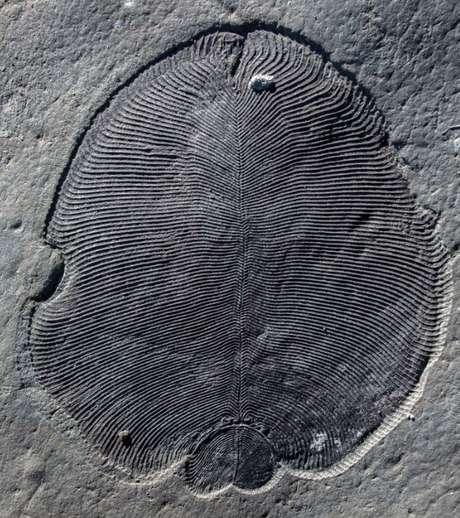 Novo estudo classifica Dickinsonia como um animal e diz que ele é o mais antigo já identificado