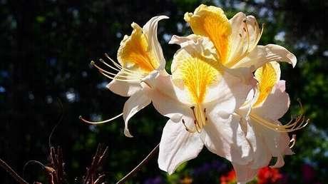 11- A azaleia é uma planta ornamental muito utilizada em nos projetos de paisagismo. Fonte: Kamilfotos - Pixabay