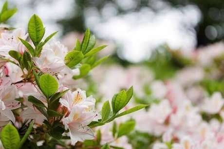 13- Durante a floração a azaleia praticamente esconde todas as folhas verdes e escuras. Fonte: Zhen Hu