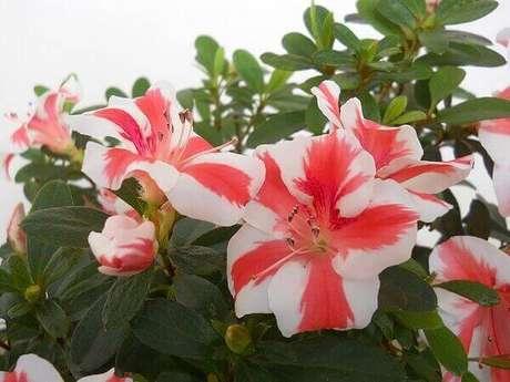 12- A azaleia mesclada em branco e vermelho tem um grande apelo visual para o jardim. Fonte: Planta Sonya