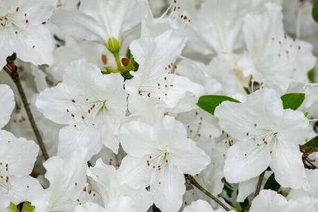 10- As azaleias florescem em abundância no período do inverno. Fonte: Pixabay