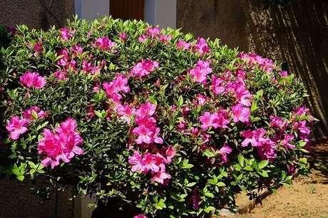 14- A azaleia é uma planta ornamental utilizada para cercas vivas. Fonte: Planta Sonya