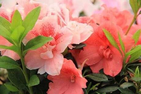 16- A azaleia tem tons intensos em suas flores, por isso é ideal para decorar jardins. Fonte: Pinterest