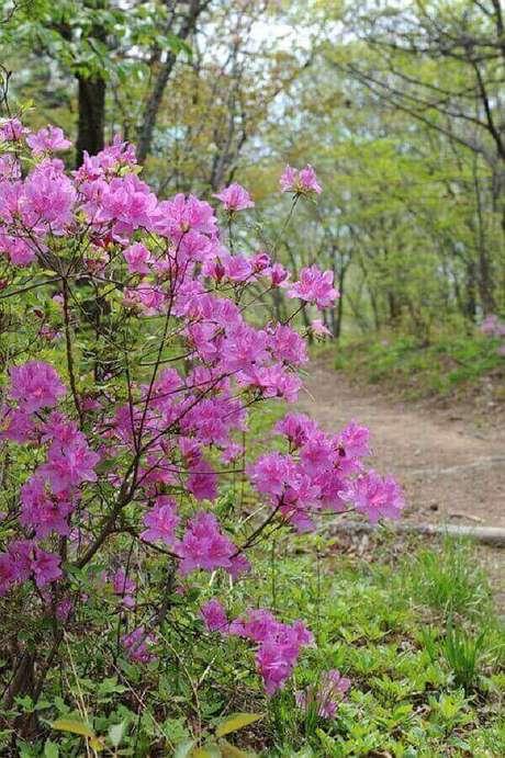 20- A azaleia é uma planta rústica que pode ser encontrada em praças, rodovias ou vias públicas. Fonte: Pixabay