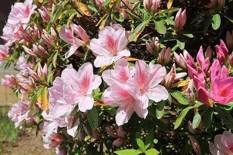48- As flores secas da azaleia devem ser retiradas para não atrapalhar os novos botões. Fonte: Meu Cantinho Verde