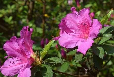 21- A azaleia é uma planta resistente que pode ser plantada em pequenos canteiros. Fonte: Pixabay