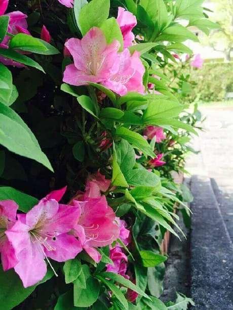35- A planta azaleia é utilizada no paisagismo como cerca viva para limitar o acesso de pessoas. Fonte: Pixabay- MPaulaM
