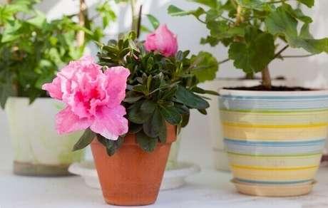 3- A mini azaléia pode ser plantada em casos cerâmicos para compor a decoração. Fonte: Pointer