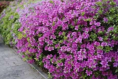 4- A planta azaleia é excelente para fazer cercas vivas. Fonte: Pixabay
