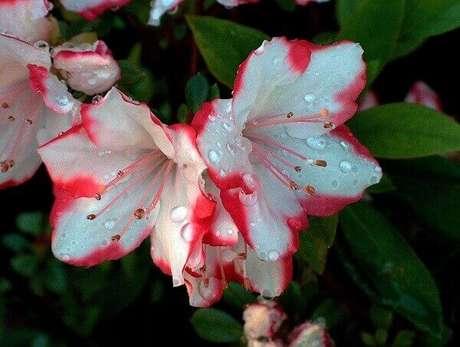 2- A flor azaleia mesclada pode ser utilizada em arranjos para eventos. Fonte: Planta Sonya