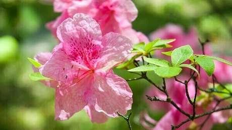 18- A azaléia é uma planta que necessita de água, mas sem encharcar. Fonte: Pinterest