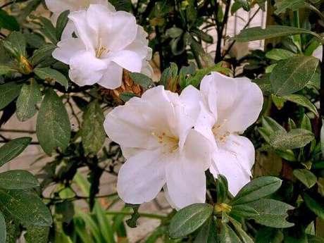 37- A azaleia branca tem um aspecto bonito e delicado. Fonte: Minhas Plantas
