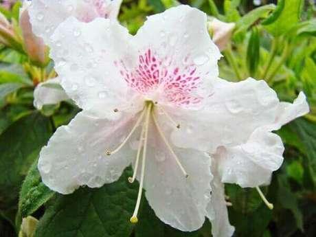 15- A azaleia branca é utilizada em eventos como casamentos. Fonte: Image kind