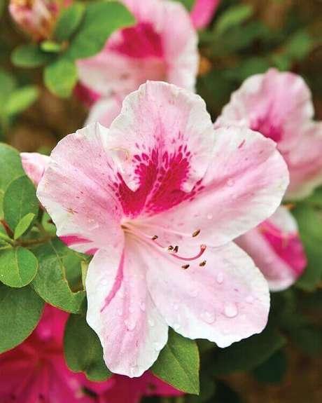 28- A flor azaleia rosa tem no centro um avermelhado. Fonte: Southern Lady Magazine