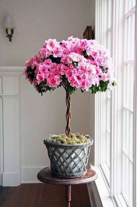 7- A flor azaleia em vaso deve ficar perto de janelas. Fonte: Pinterest