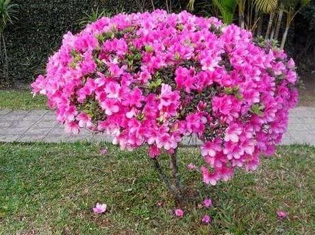 5- A azaleia é uma planta ornamental muito utilizada para decorar área externa. Fonte: Pixabay