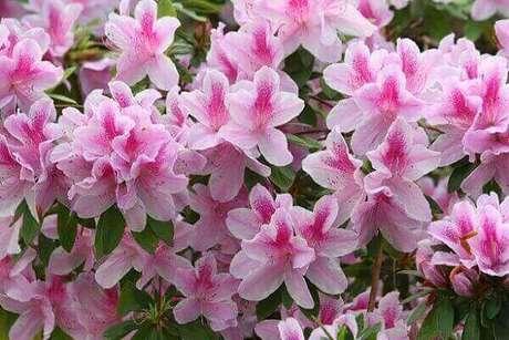 22- A planta azaleia é comum e se desenvolve muito bem no clima brasileiro. Fonte: Pinterest